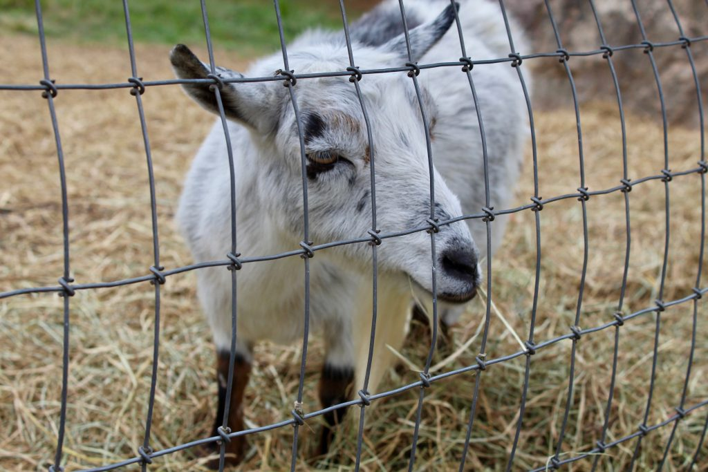 Baby goats at For Garden's Sake Durham