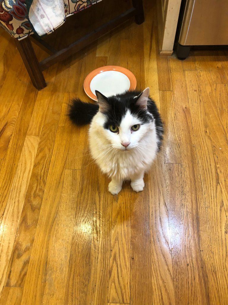 furry tuxedo cat