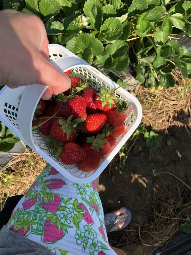 Strawberry Picking in Durham, NC